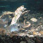 幻の高級魚「サツキマス」の養殖に高知企業(ヒサワキ)が成功したようです。食卓に並ぶようになるかもしれません。